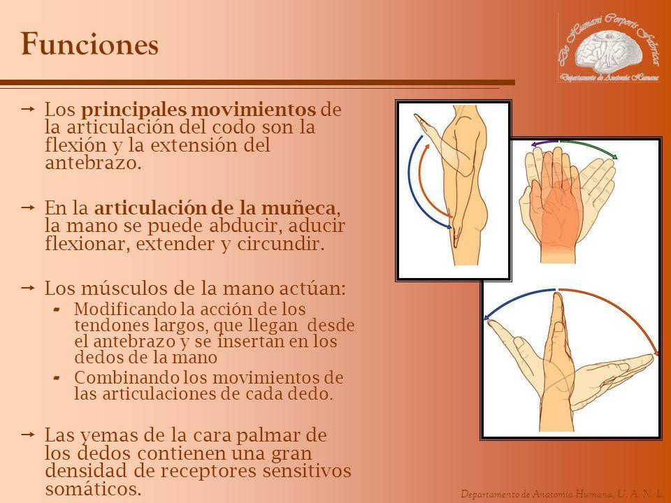 Funciones Los principales movimientos de la articulación del codo son la flexión y la extensión del antebrazo.
