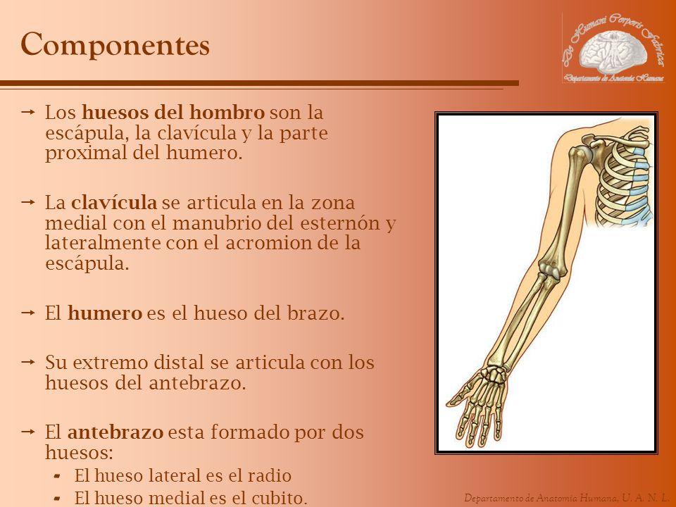 Componentes Los huesos del hombro son la escápula, la clavícula y la parte proximal del humero.