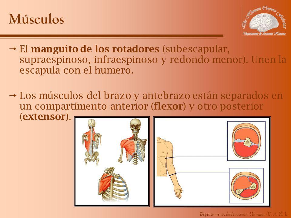 Músculos El manguito de los rotadores (subescapular, supraespinoso, infraespinoso y redondo menor). Unen la escapula con el humero.