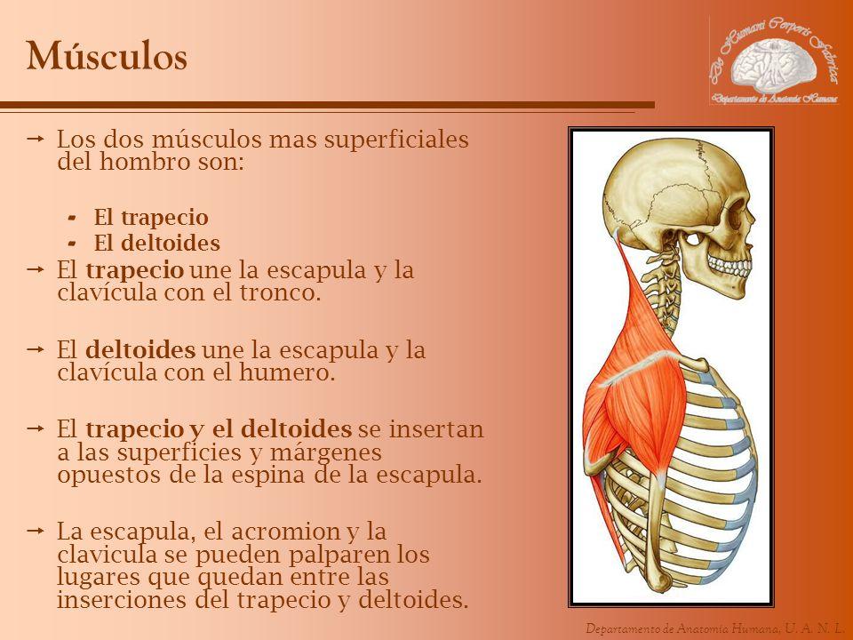 Músculos Los dos músculos mas superficiales del hombro son: