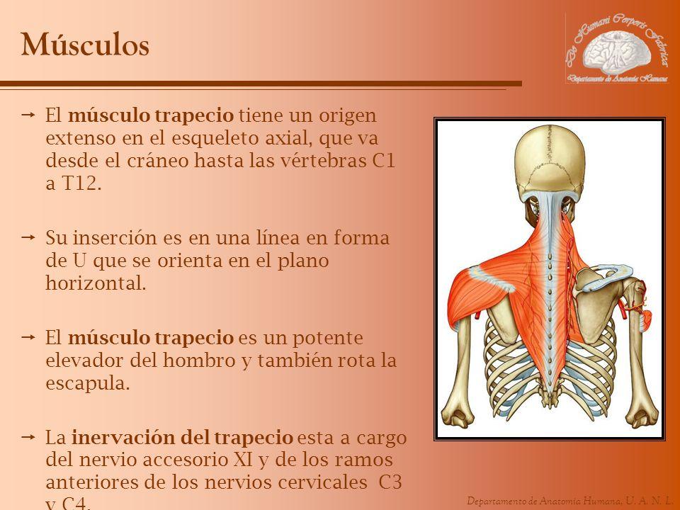 Músculos El músculo trapecio tiene un origen extenso en el esqueleto axial, que va desde el cráneo hasta las vértebras C1 a T12.