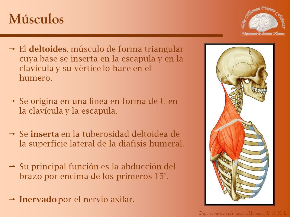 Músculos El deltoides, músculo de forma triangular cuya base se inserta en la escapula y en la clavícula y su vértice lo hace en el humero.