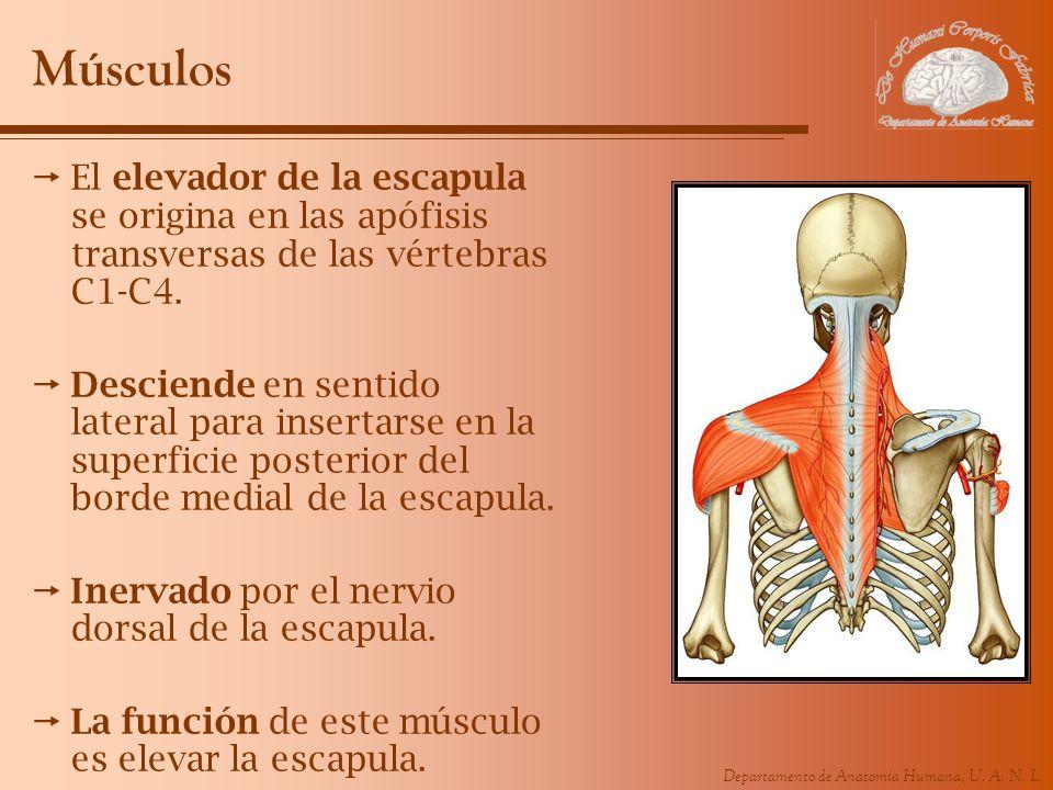 Músculos El elevador de la escapula se origina en las apófisis transversas de las vértebras C1-C4.