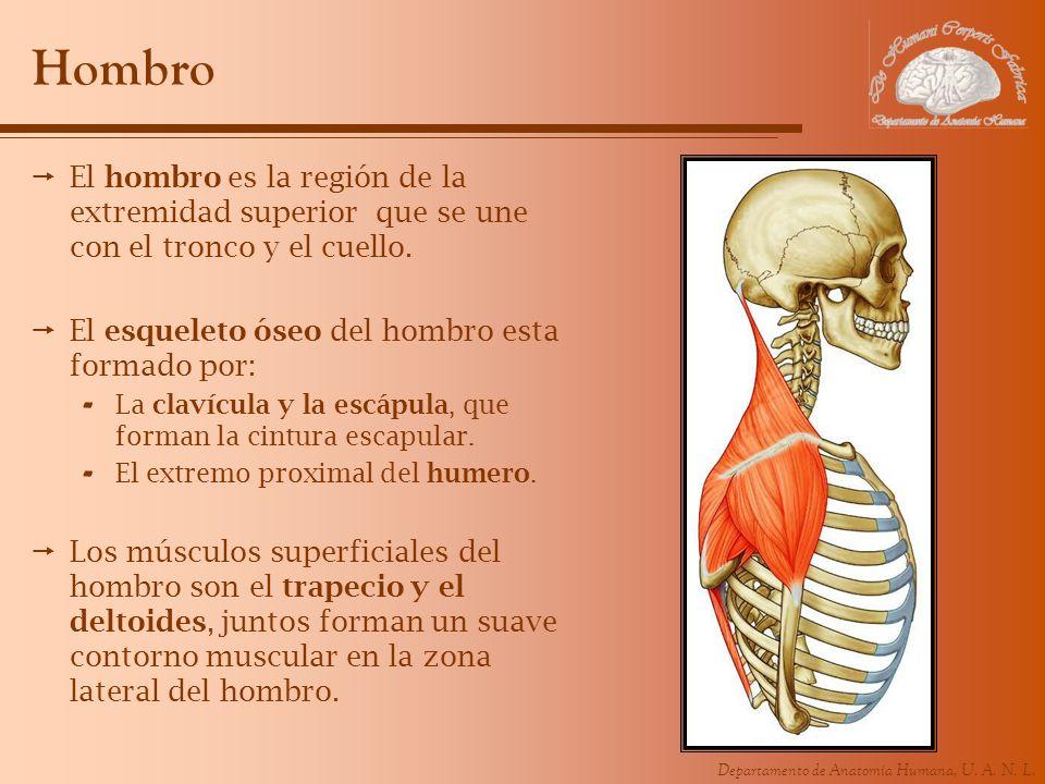 Hombro El hombro es la región de la extremidad superior que se une con el tronco y el cuello. El esqueleto óseo del hombro esta formado por: