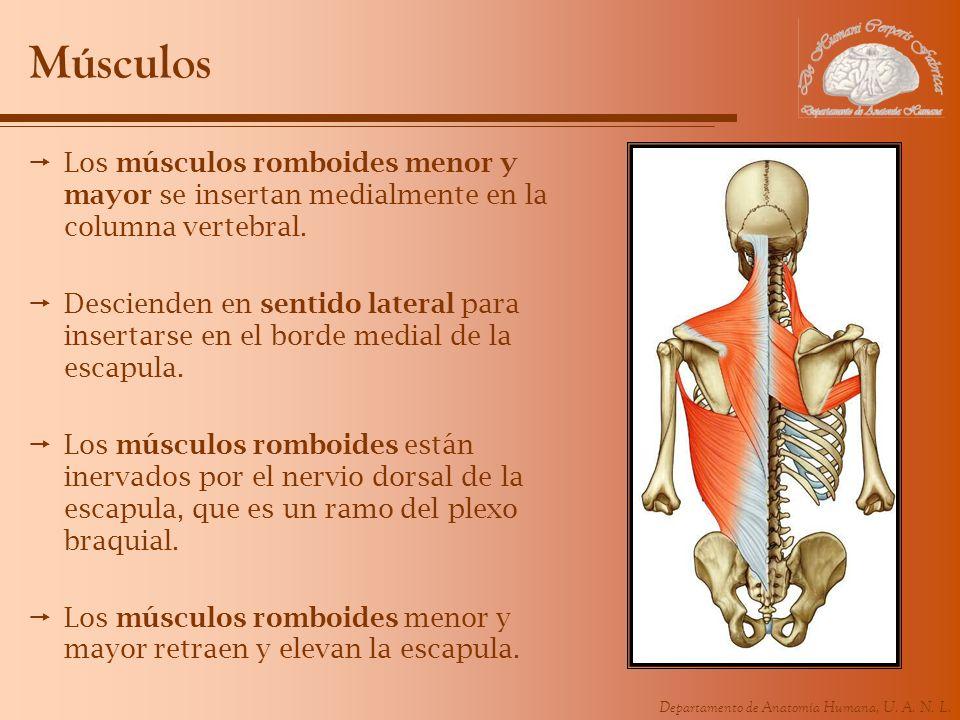 Músculos Los músculos romboides menor y mayor se insertan medialmente en la columna vertebral.