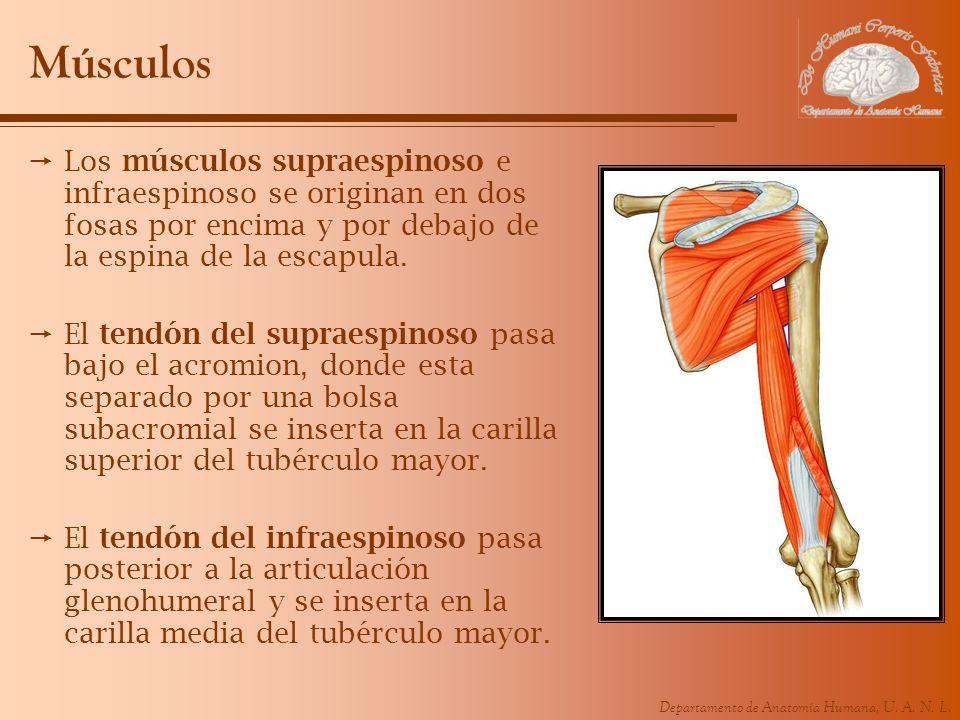 Músculos Los músculos supraespinoso e infraespinoso se originan en dos fosas por encima y por debajo de la espina de la escapula.