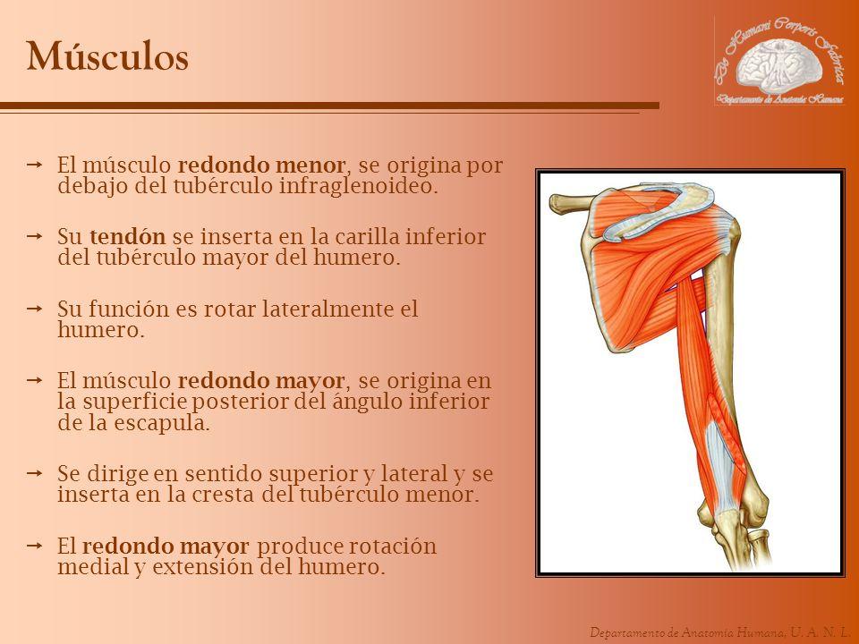 Músculos El músculo redondo menor, se origina por debajo del tubérculo infraglenoideo.