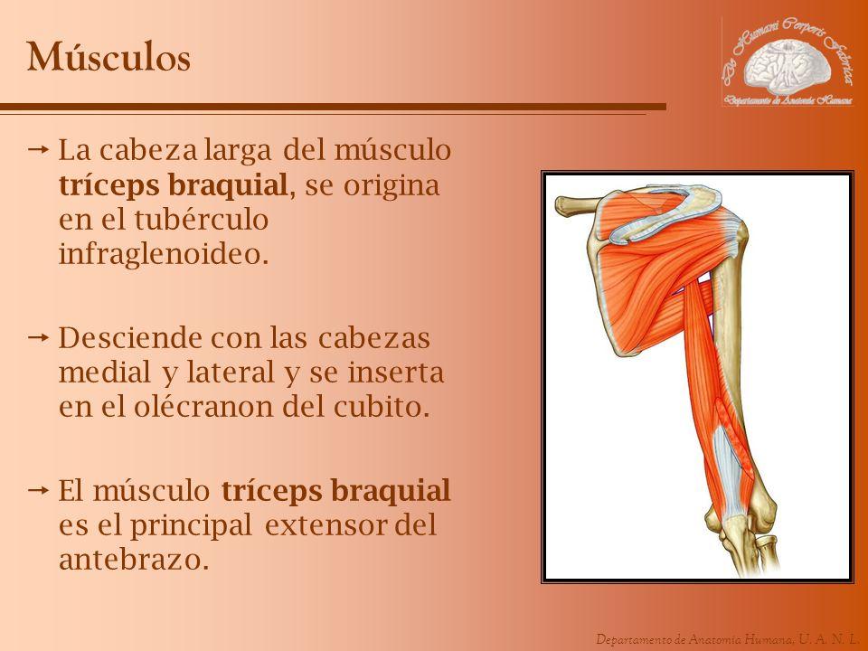 Músculos La cabeza larga del músculo tríceps braquial, se origina en el tubérculo infraglenoideo.