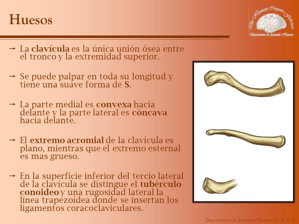 Lujo Hueso De La Clavícula Anatomía Colección de Imágenes - Anatomía ...