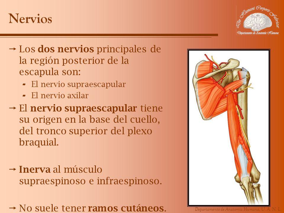 Nervios Los dos nervios principales de la región posterior de la escapula son: El nervio supraescapular.