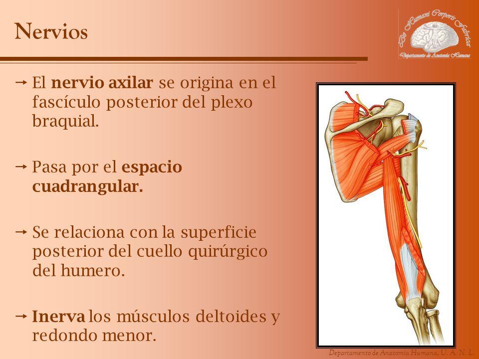 Nervios El nervio axilar se origina en el fascículo posterior del plexo braquial. Pasa por el espacio cuadrangular.