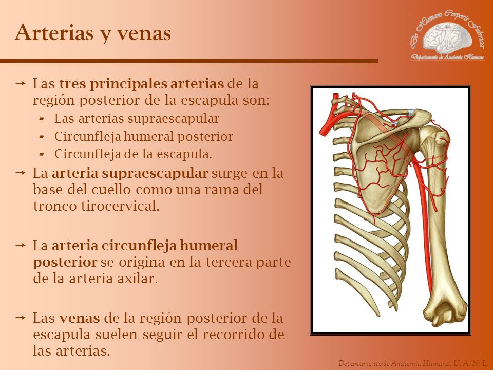 Arterias y venas Las tres principales arterias de la región posterior de la escapula son: Las arterias supraescapular.
