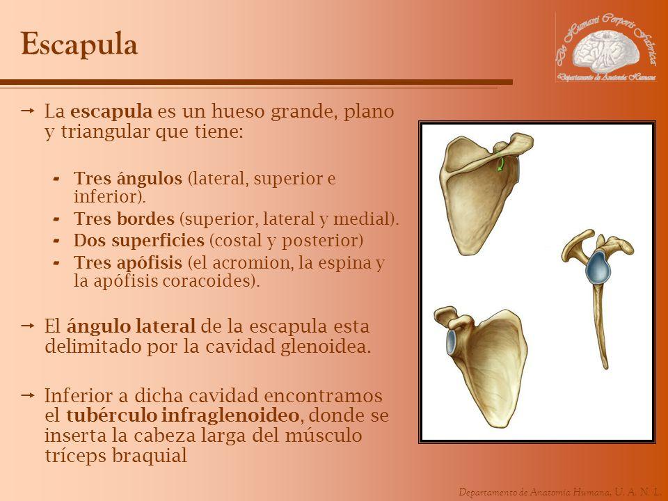 Escapula La escapula es un hueso grande, plano y triangular que tiene: