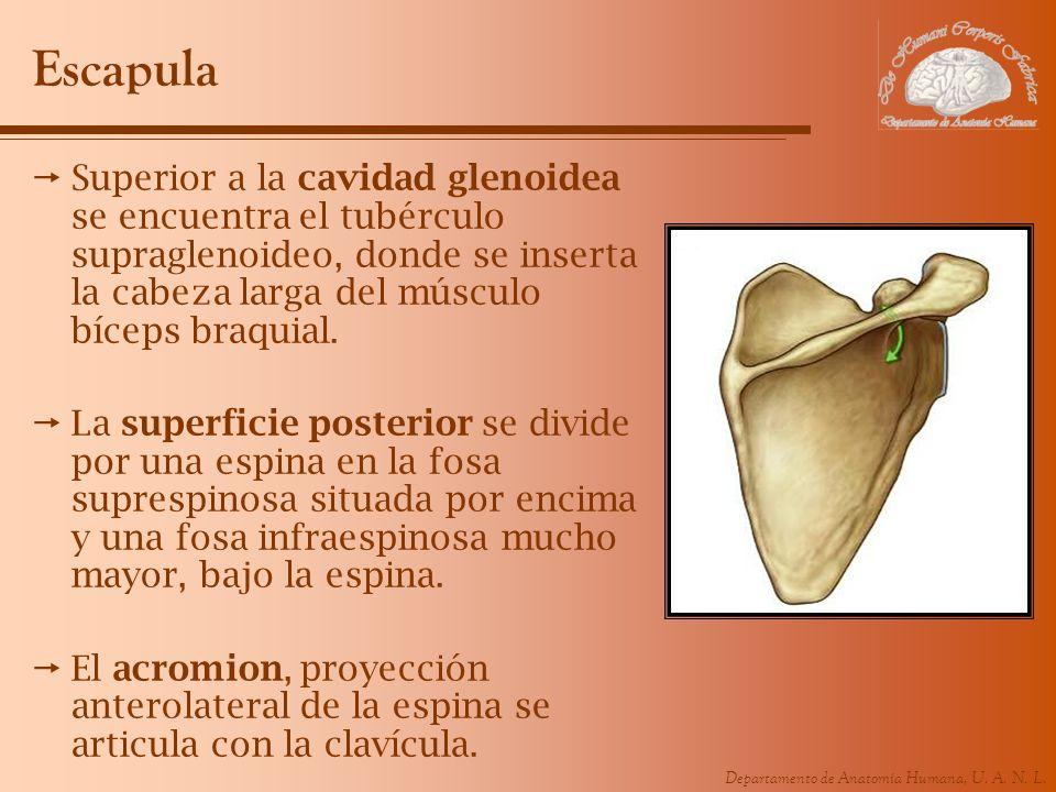 Escapula Superior a la cavidad glenoidea se encuentra el tubérculo supraglenoideo, donde se inserta la cabeza larga del músculo bíceps braquial.