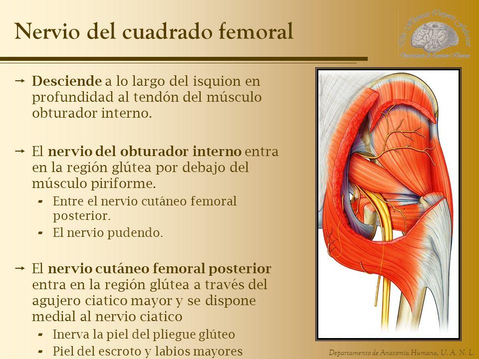 Nervio del cuadrado femoral