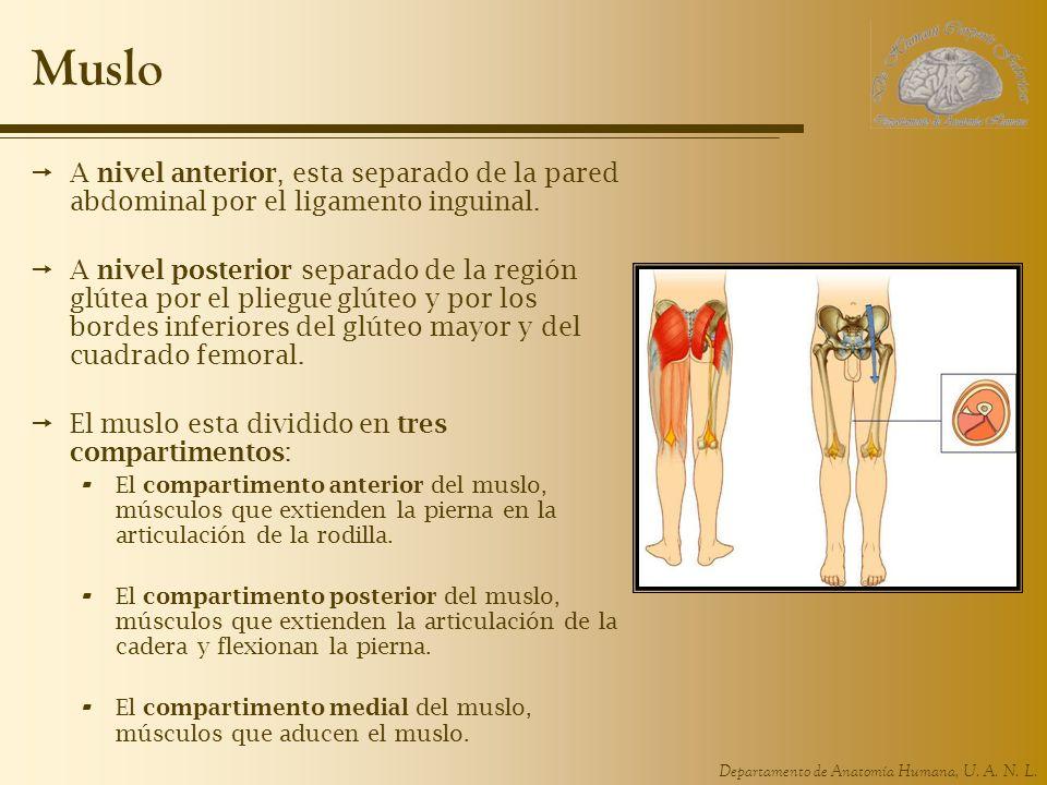 Muslo A nivel anterior, esta separado de la pared abdominal por el ligamento inguinal.