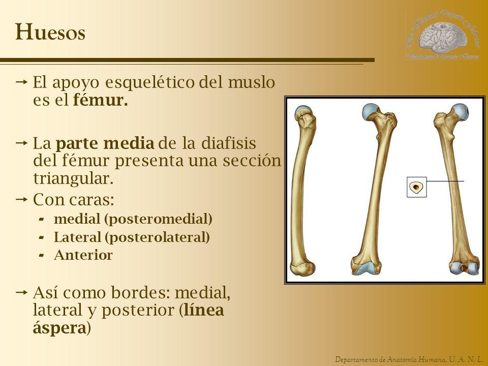 Huesos El apoyo esquelético del muslo es el fémur.