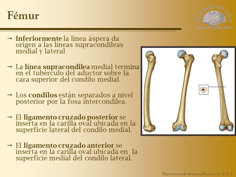 Fémur Inferiormente la línea áspera da origen a las líneas supracondileas medial y lateral.
