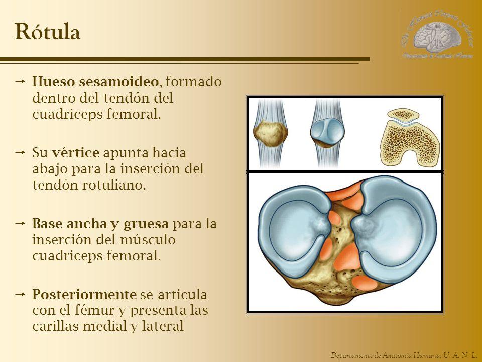 Rótula Hueso sesamoideo, formado dentro del tendón del cuadriceps femoral. Su vértice apunta hacia abajo para la inserción del tendón rotuliano.