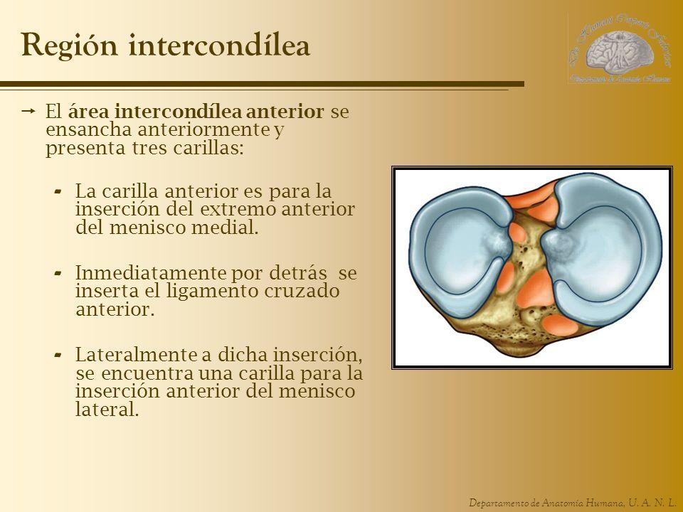 Región intercondílea El área intercondílea anterior se ensancha anteriormente y presenta tres carillas: