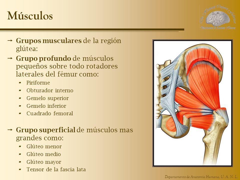 Músculos Grupos musculares de la región glútea: