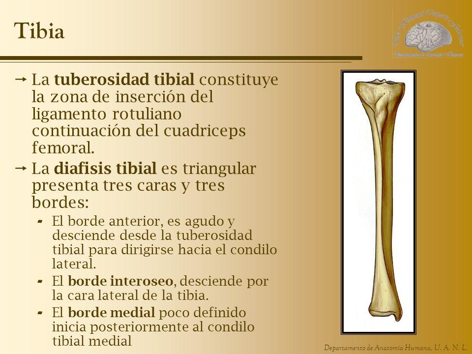 Tibia La tuberosidad tibial constituye la zona de inserción del ligamento rotuliano continuación del cuadriceps femoral.