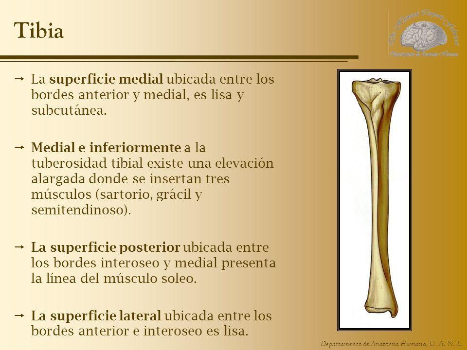 Tibia La superficie medial ubicada entre los bordes anterior y medial, es lisa y subcutánea.