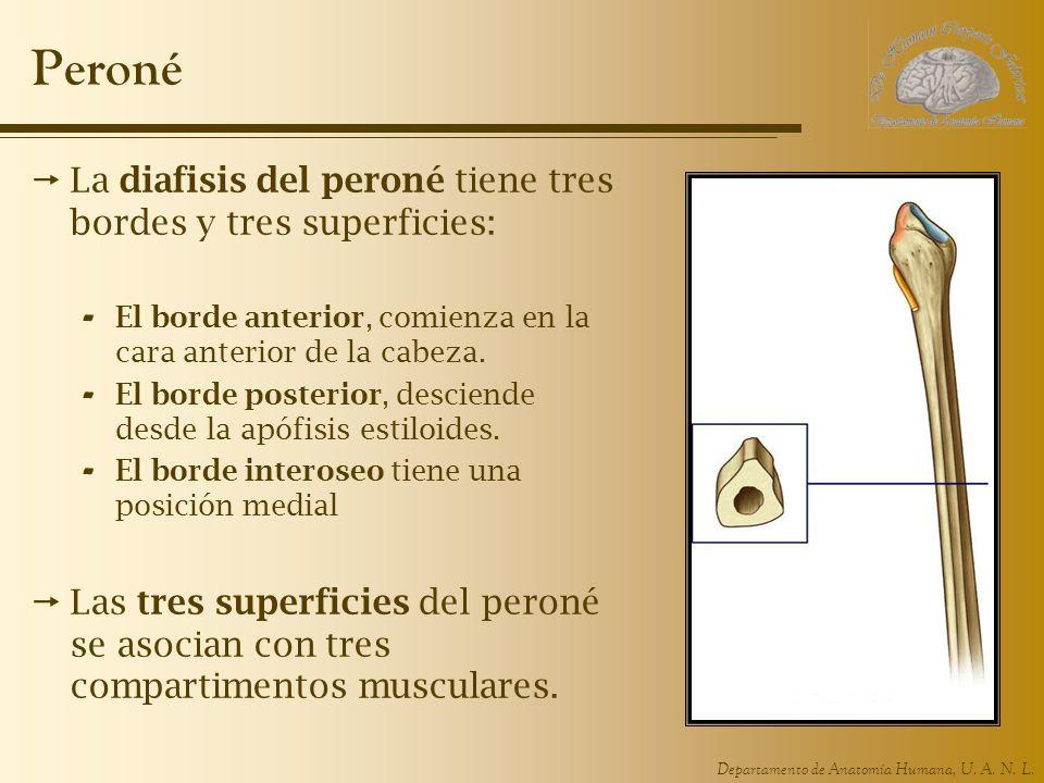 Peroné La diafisis del peroné tiene tres bordes y tres superficies: