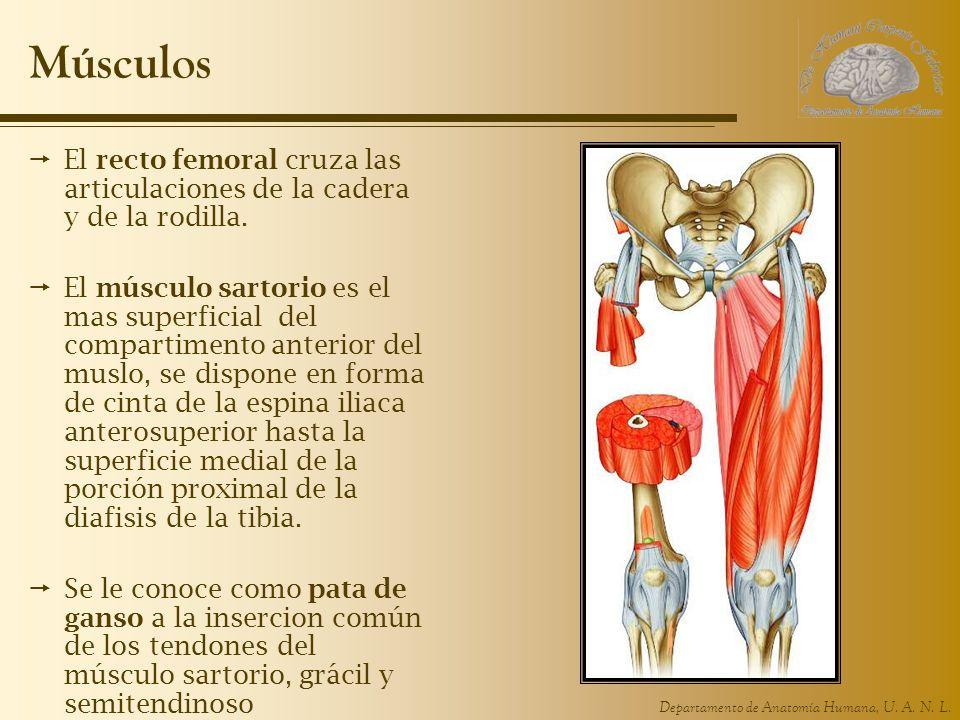 Músculos El recto femoral cruza las articulaciones de la cadera y de la rodilla.