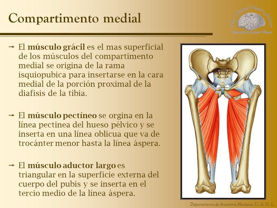 Compartimento medial