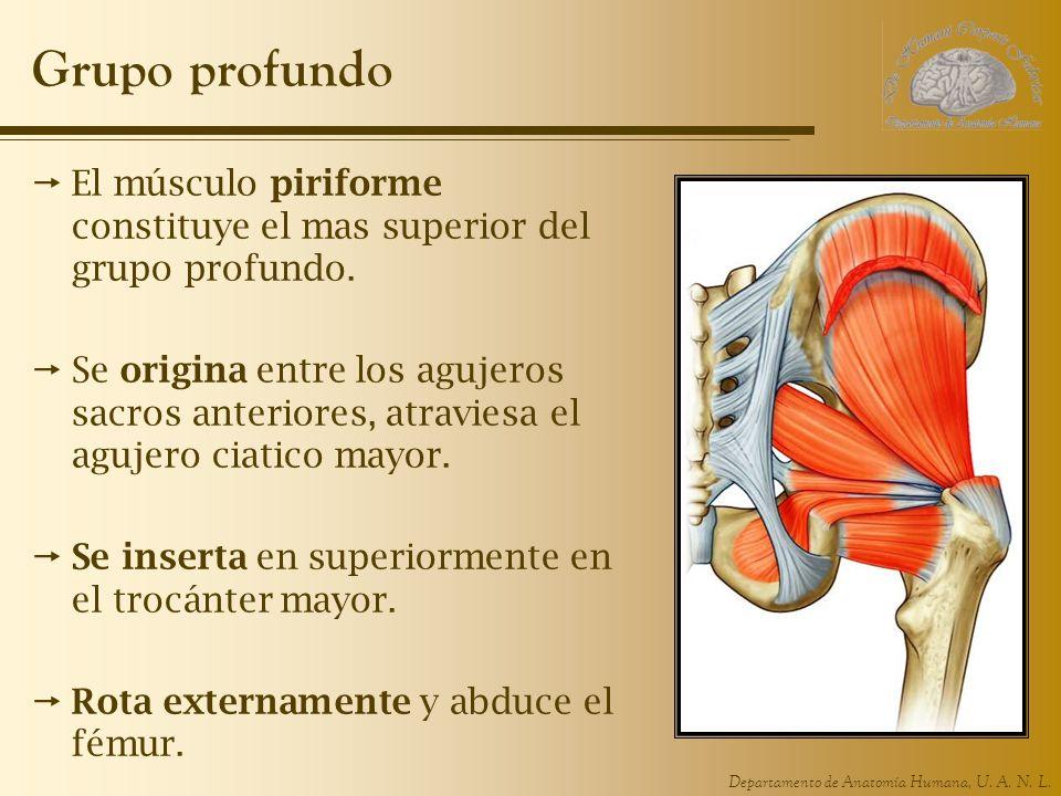Grupo profundo El músculo piriforme constituye el mas superior del grupo profundo.