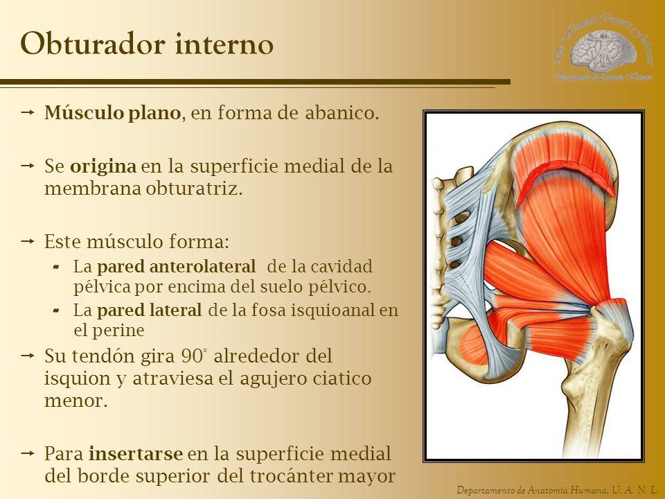 Obturador interno Músculo plano, en forma de abanico.