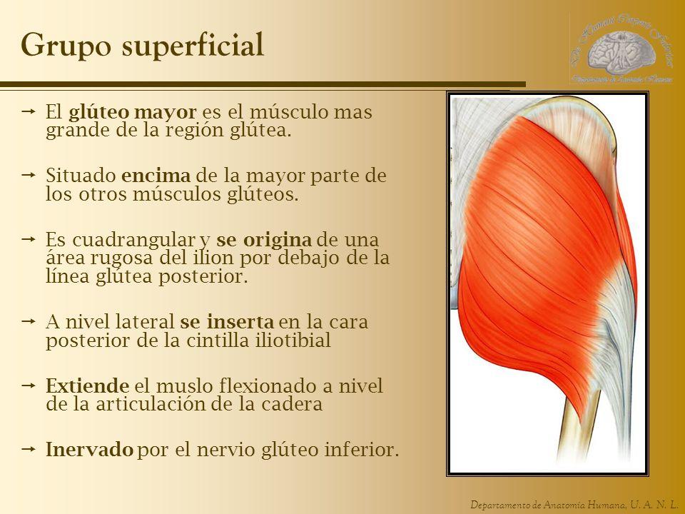 Grupo superficial El glúteo mayor es el músculo mas grande de la región glútea. Situado encima de la mayor parte de los otros músculos glúteos.