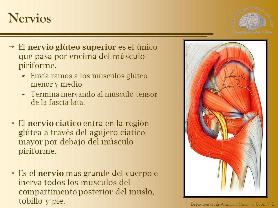 Nervios El nervio glúteo superior es el único que pasa por encima del músculo piriforme. Envía ramos a los músculos glúteo menor y medio.
