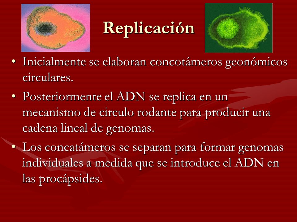 Replicación Inicialmente se elaboran concotámeros geonómicos circulares.