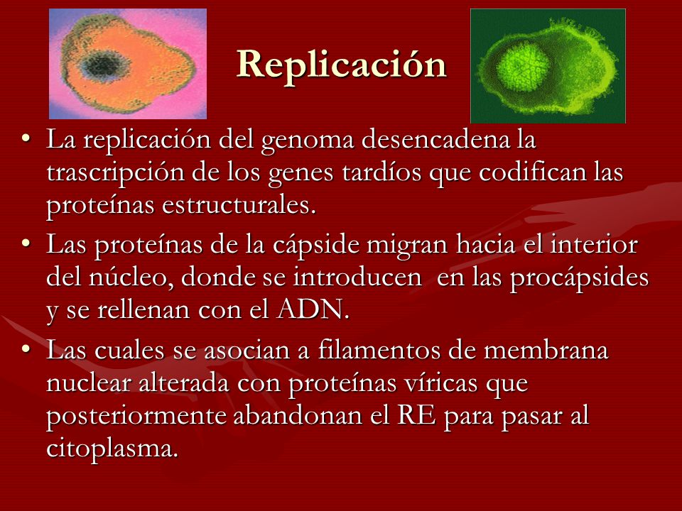 Replicación La replicación del genoma desencadena la trascripción de los genes tardíos que codifican las proteínas estructurales.