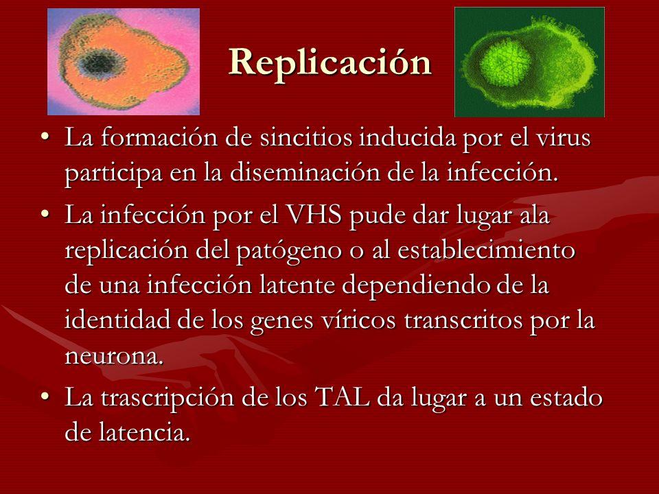 Replicación La formación de sincitios inducida por el virus participa en la diseminación de la infección.