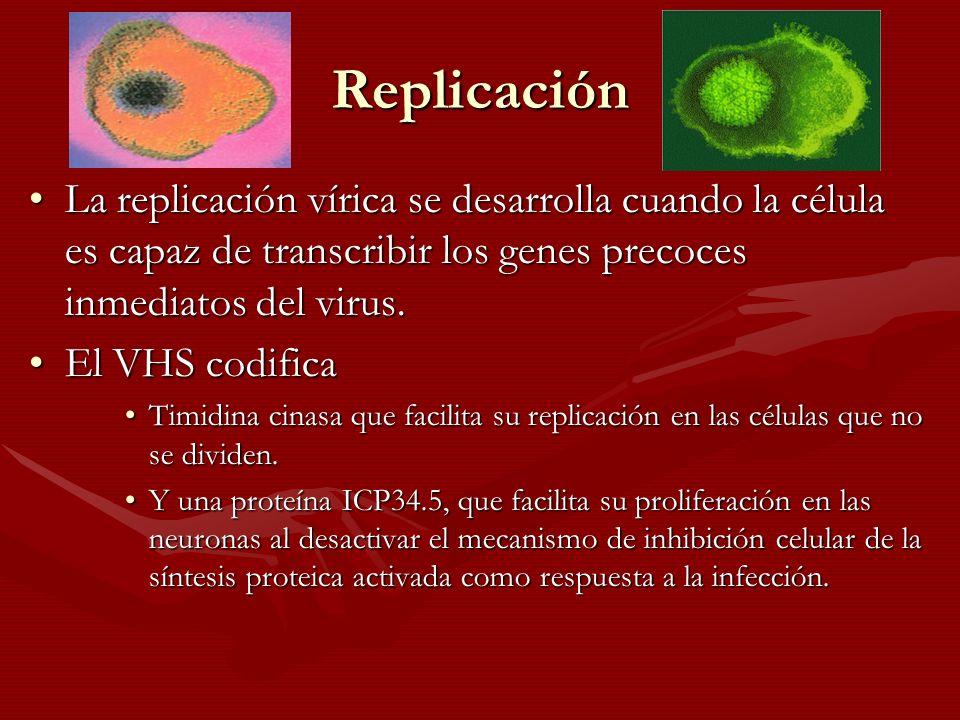 Replicación La replicación vírica se desarrolla cuando la célula es capaz de transcribir los genes precoces inmediatos del virus.