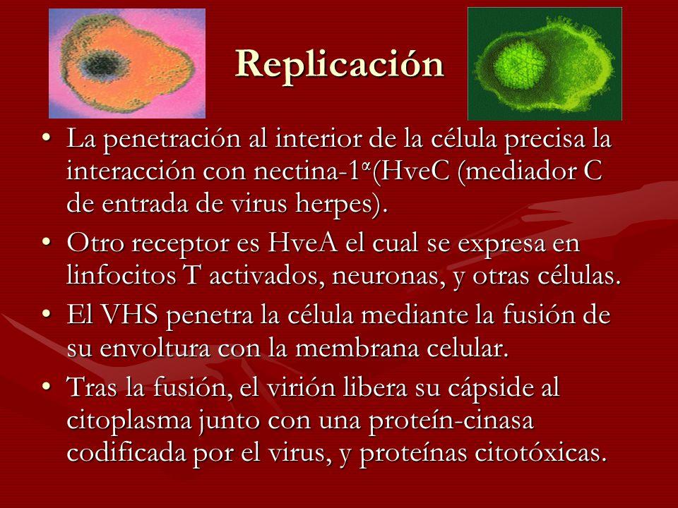 Replicación La penetración al interior de la célula precisa la interacción con nectina-1α(HveC (mediador C de entrada de virus herpes).