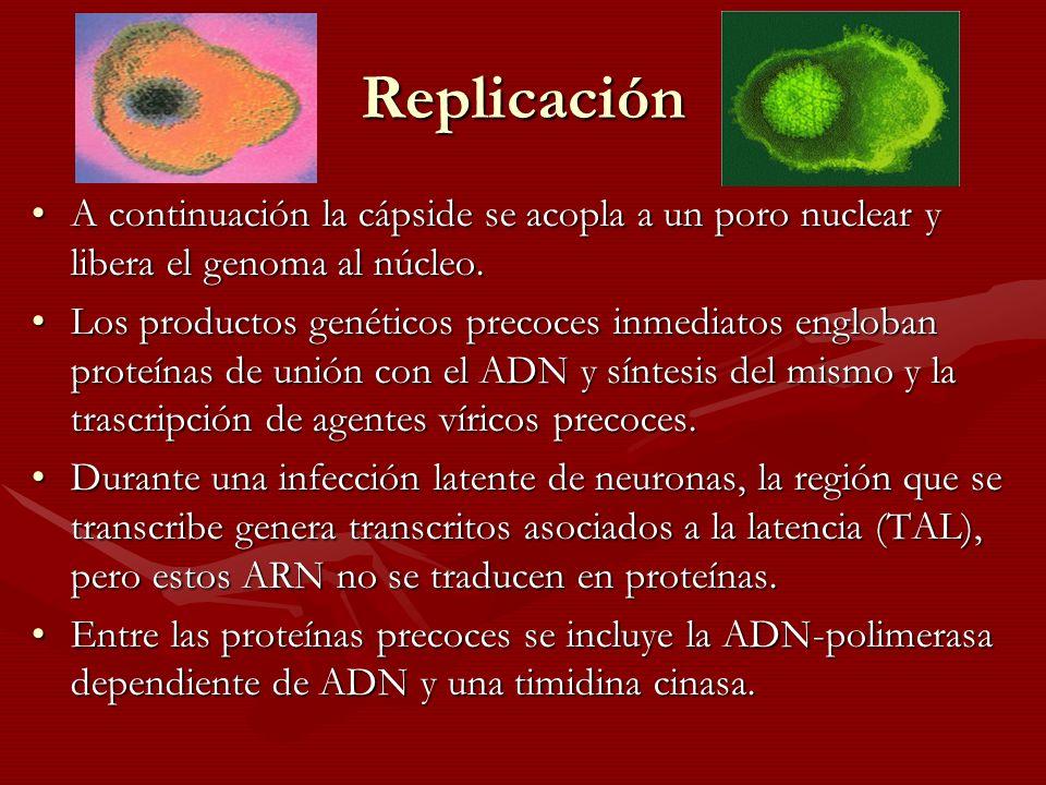 Replicación A continuación la cápside se acopla a un poro nuclear y libera el genoma al núcleo.