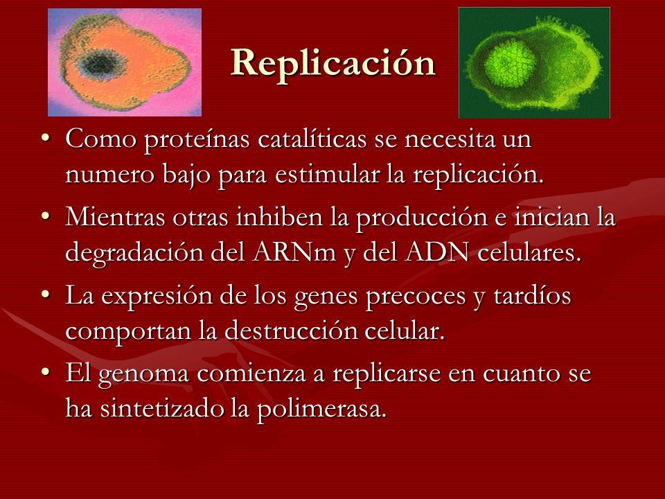 Replicación Como proteínas catalíticas se necesita un numero bajo para estimular la replicación.