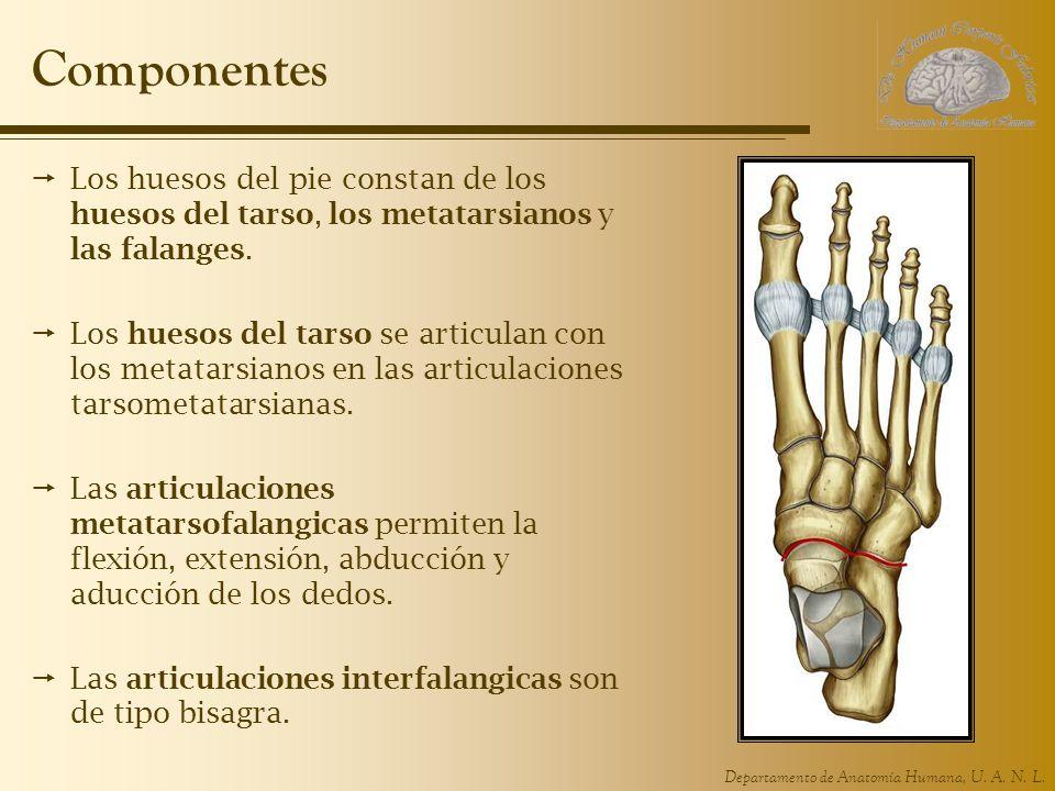 Componentes Los huesos del pie constan de los huesos del tarso, los metatarsianos y las falanges.