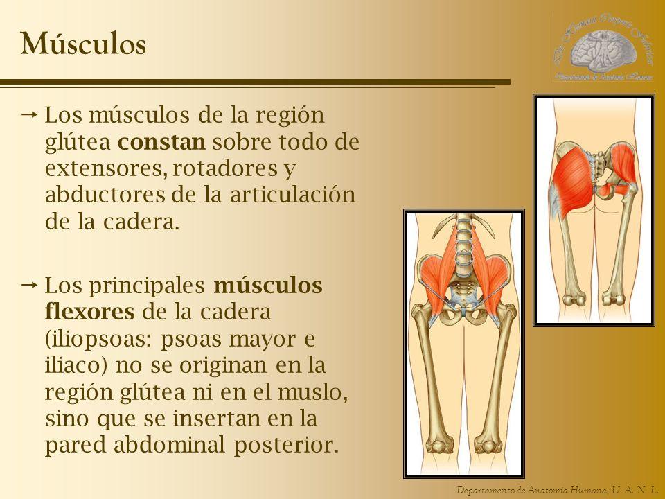Músculos Los músculos de la región glútea constan sobre todo de extensores, rotadores y abductores de la articulación de la cadera.