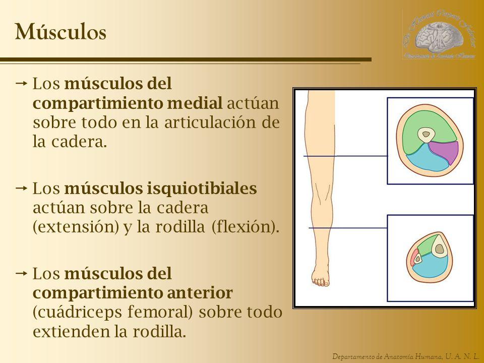 Músculos Los músculos del compartimiento medial actúan sobre todo en la articulación de la cadera.