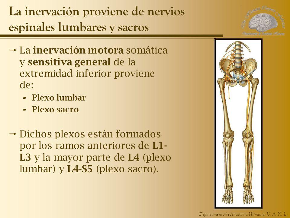 La inervación proviene de nervios espinales lumbares y sacros