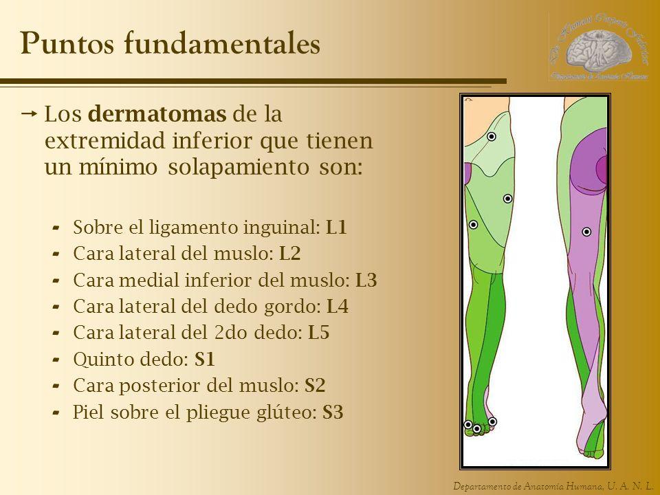 Puntos fundamentales Los dermatomas de la extremidad inferior que tienen un mínimo solapamiento son: