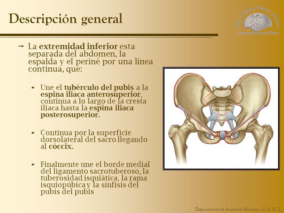 Descripción general La extremidad inferior esta separada del abdomen, la espalda y el periné por una línea continua, que: