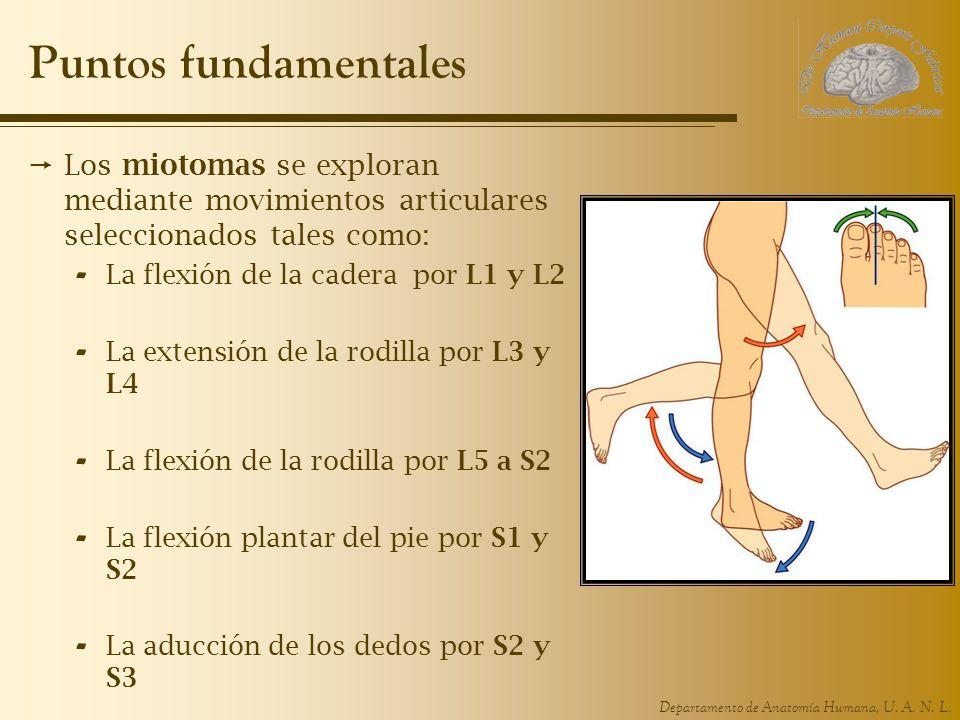 Puntos fundamentales Los miotomas se exploran mediante movimientos articulares seleccionados tales como: