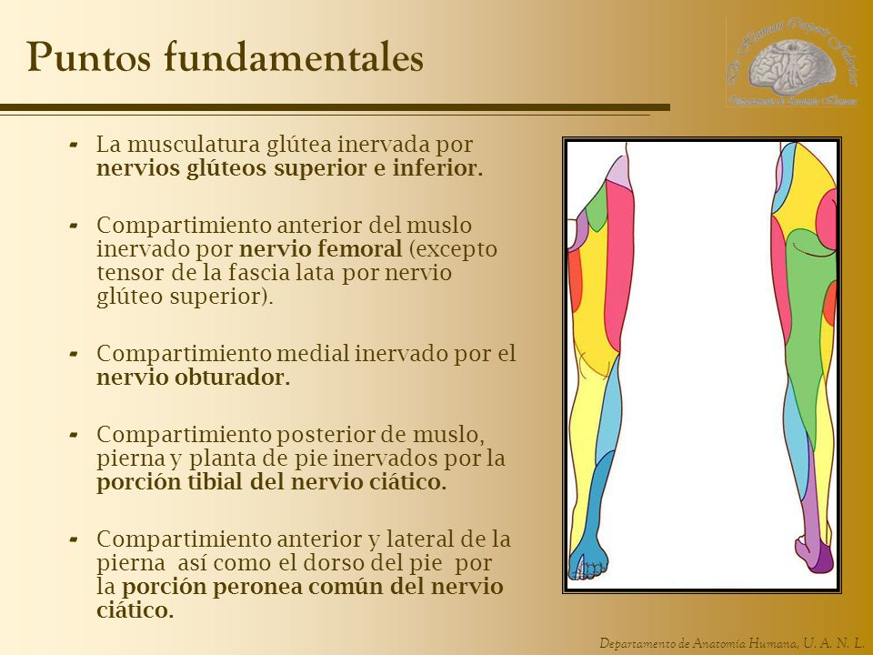 Puntos fundamentales La musculatura glútea inervada por nervios glúteos superior e inferior.