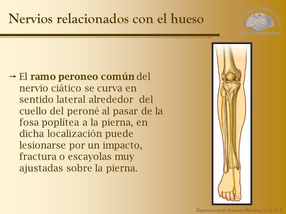 Nervios relacionados con el hueso